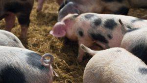 Buening Schweine 1 300x169