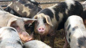 Buening Schweine 2 300x169