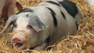 Buening Schweine 3 300x169