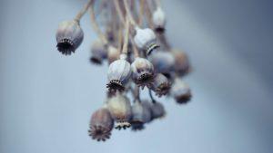Samen heimischer Kulturpflanzen für Bio-Öle